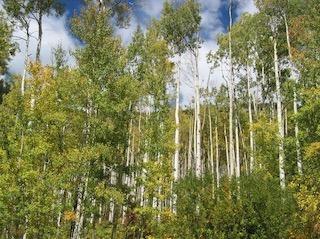 tree_aspen_2004-09_3969_320p.jpg
