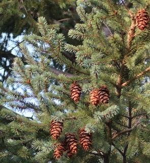 tree_douglas_fir_2020-09_5443_320p.jpg