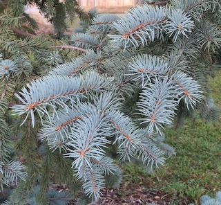 tree_kosteri_spruce_2020-09_5456_320p.jpg