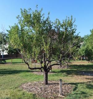 tree_princess_key_plum_2020-08_5152_320p.jpg