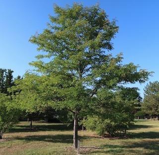 tree_skyline_honeylocust_2020-08_5174_320p.jpg